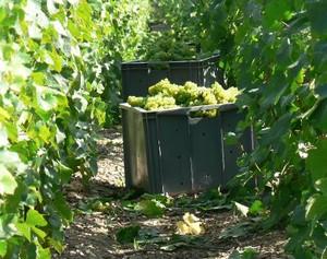 Raisins en caisse